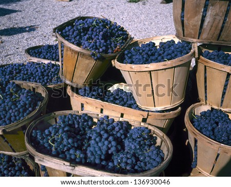 Blue wine grapes in wicker baskets after the harvest at the vineyard