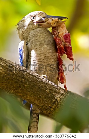 Blue-winged Kookaburra (Dacelo leachii) - stock photo