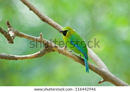 Blue winged Leafbird