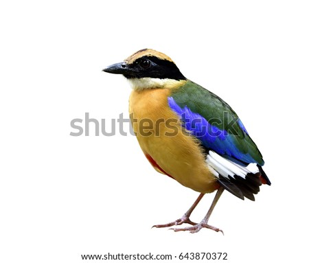 Blue-winged pitta (Pitta moluccensis) beautiful bird with multiple colors feathers bird isolated on white background, fascinated nature