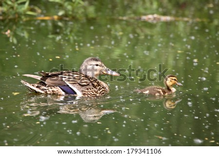 Blue-winged Teal (Anas discors) - stock photo