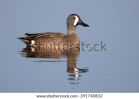 Blue-winged Teal in blue background - stock photo