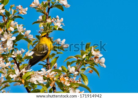 Blue-winged Warbler - stock photo