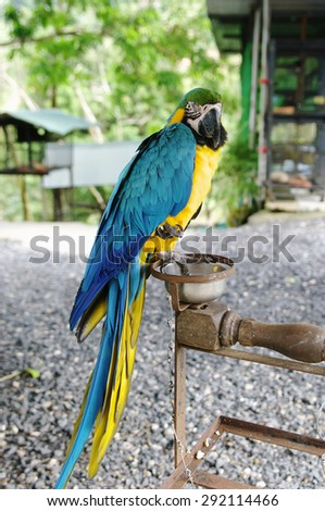 Blue-yellow macaw parrot (lat. Ara) in Paradise Park Farm, Koh Samui, Thailand.