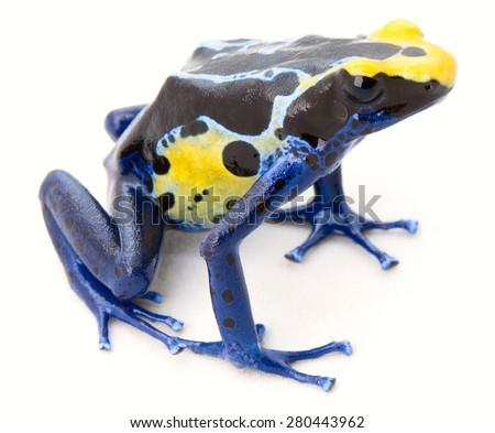 blue yellow poison frog on white Dendrobates tinctorius a poisonous animal from the Amazon rainforest in Suriname. Macro of a small amphibian. - stock photo