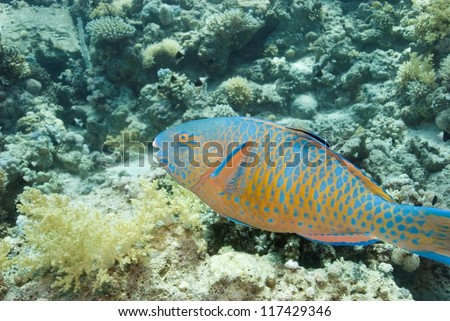 Bluebarred Parrotfish (Scarus Ghobban)