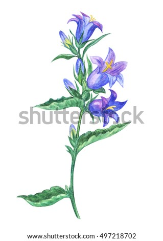 bluebell flower drawing a water color on a white background