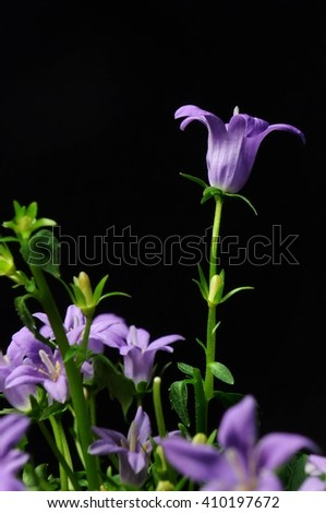 Bluebell on black background - stock photo