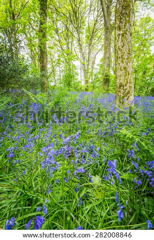 Bluebell woods at godolphin in cornwall england uk