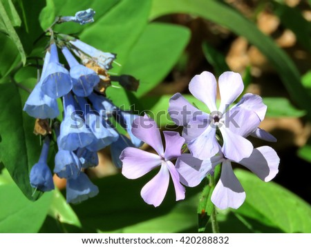 Bluebells and Phlox divaricata flowers in forest on the banks of the Potomac River near Washington DC, 20 April 2016 USA                                     - stock photo