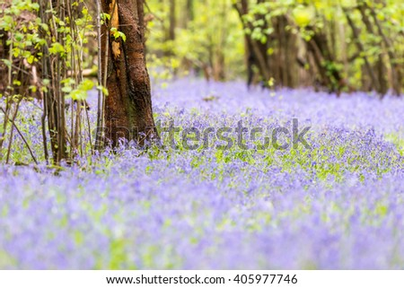 Bluebells carpet the woodland floor in Spring. Sussex. April - stock photo