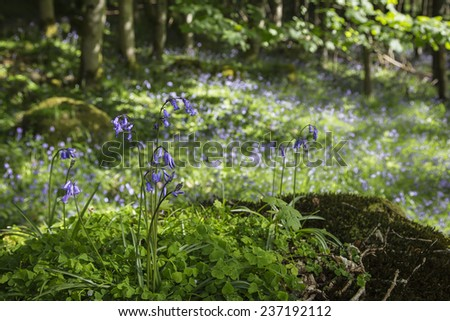 Bluebells in Craig Dunain woods near Loch Ness in Inverness-shire