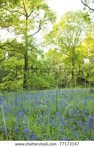 Bluebells in the forest, Lineover wood, Cheltenham