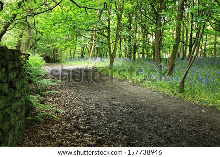 Bluebells in the woods, Yorkshire  - stock photo