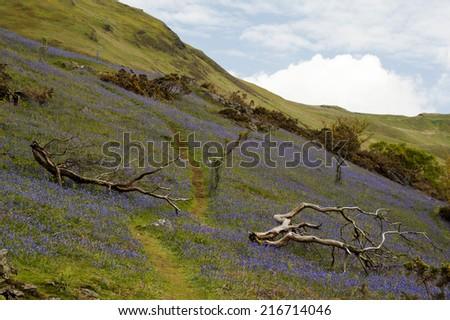 Bluebells on Cumbrian Hillside - stock photo