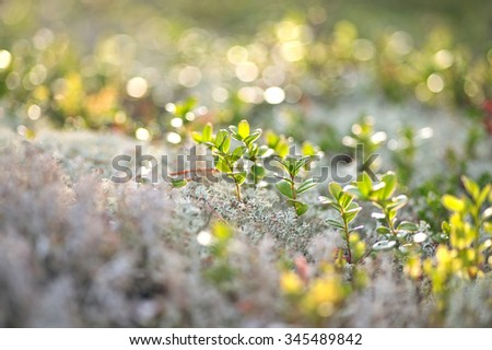 blueberries and moss - stock photo
