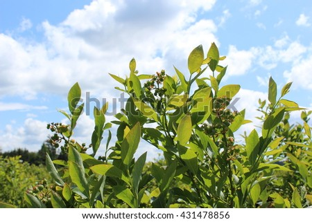 Blueberries are growing under the sun - stock photo