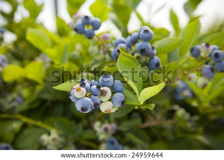 Blueberries at a U Pick berry farm in the Pacific Northwest. Shallow depth of field. - stock photo