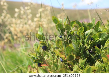 Blueberries on the field - stock photo