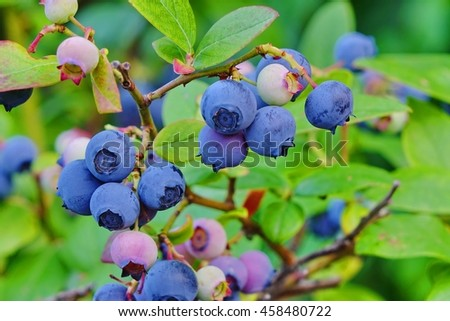 Blueberries Or Vaccinium Dwarf Shrubs With Ripe Fruits Cultivated In Garden, Close Up - stock photo