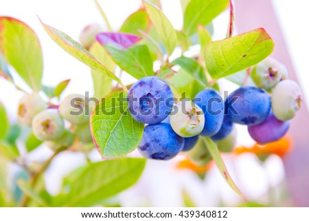 blueberries, ripening berries on a bush in the garden - stock photo