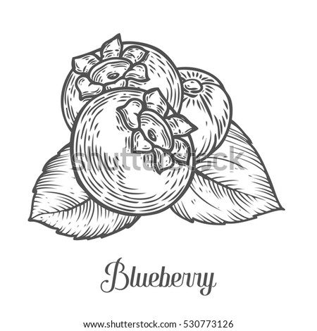 Blueberry berry, fruit, leaf, plant. Superfood organic berry. Engraved hand drawn illustration in retro vintage style. Black blue berry isolated on white background.
