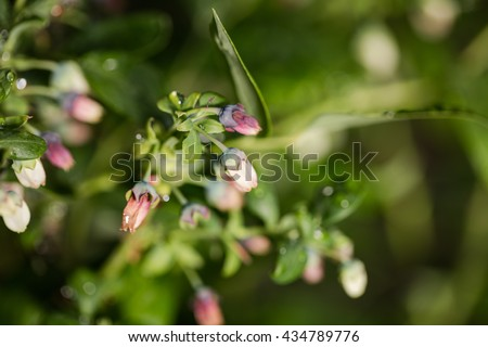 Blueberry blooms macro. Flowers of cultivated kind of bog blueberry (Vaccinium uliginosum).