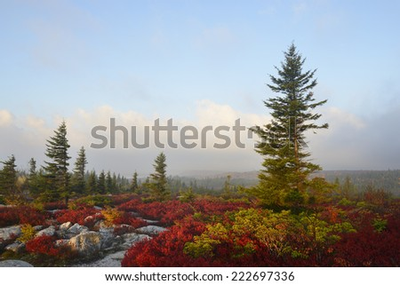 Blueberry Bushes in Fall  - stock photo