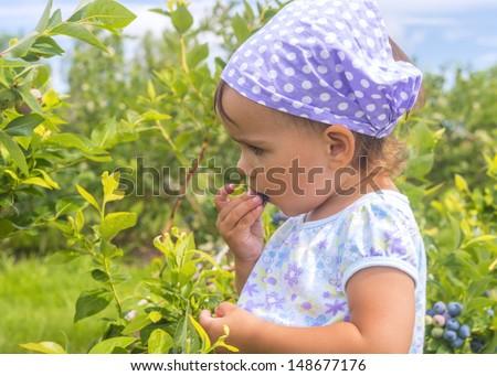 Blueberry Close-up (Annapolis Valley, Nova Scotia, Canada) - stock photo
