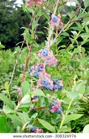 Blueberry plant in a field in Ontario, Canada