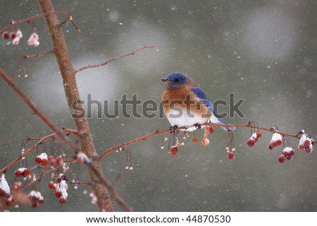 Bluebird in berry tree in a snowstorm - stock photo