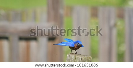 Bluebird in the summertime - stock photo