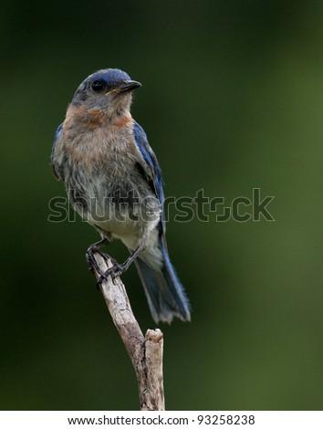 Bluebird portrait - stock photo