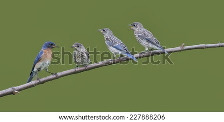 Bluebirds Lined Up on a Branch - stock photo