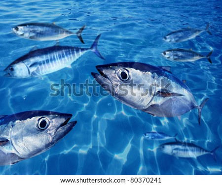 Bluefin tuna Thunnus thynnus fish school underwater swimming blue ocean [Photo Illustration] - stock photo