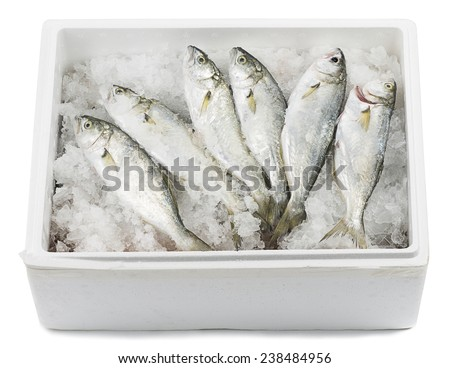 Bluefishes lying on ice in a transportation box isolated on white background.   - stock photo