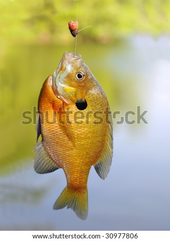 Bluegill Sunfish Caught on a Fishing Hook - stock photo