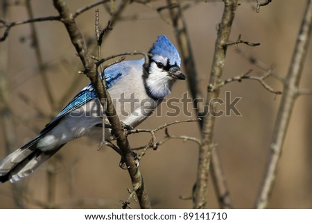 Bluejay - stock photo