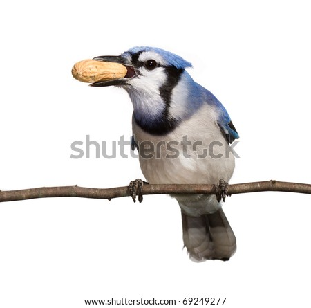 bluejay holds a prize peanut in its beak. straight on view of a bird, head tilted to side breast and underside of tail in full view. bluejay perched on a branch with a white background - stock photo