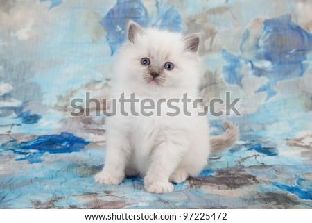 Bluepoint Ragdoll kitten on blue floral background - stock photo
