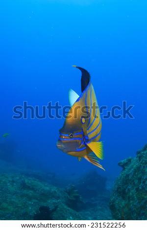 Bluering Angelfish - stock photo