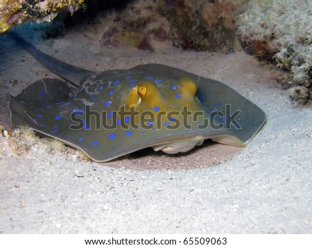 bluespotted ribbontail ray  Taeniura lymma  hiding in coral reef shelter in nearshore zone