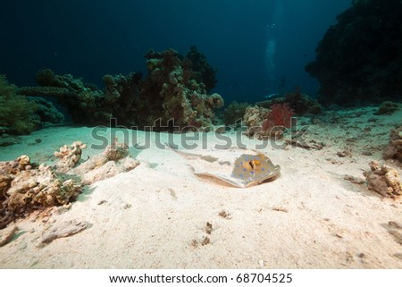 Bluespotted stingray in the Red Sea. - stock photo
