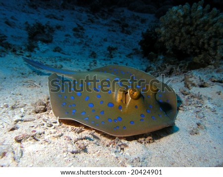 Bluespotted Stingray in the red sea on sand