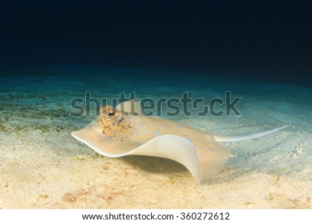 Bluespotted stingray sting ray on sandy seabed - stock photo