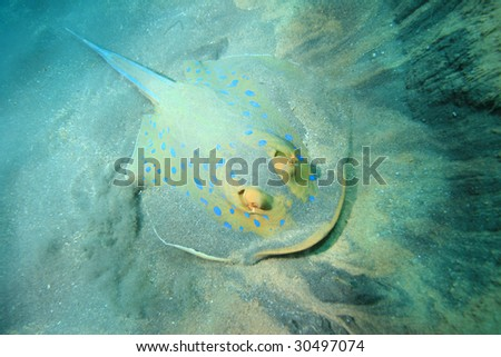 Bluespotted Stingray (Taeniura lymma)