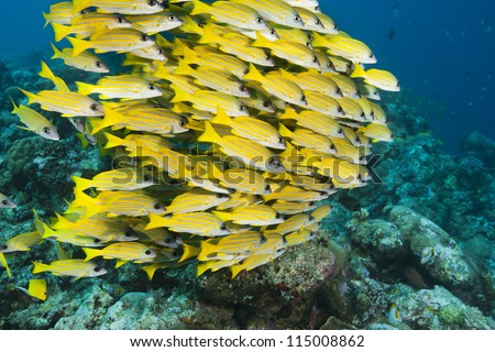 Bluestripe Snapper (Lutjanus kasmira) on a tropical coral reef off the islands of Palau in Micronesia.