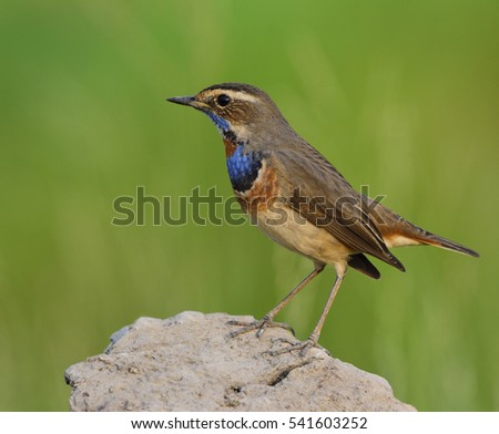 Bluethroat (Luscinia svecica) beautiful brown bird with orange spot and blue feathers on his chest to chin standing on a dirt rock over green background