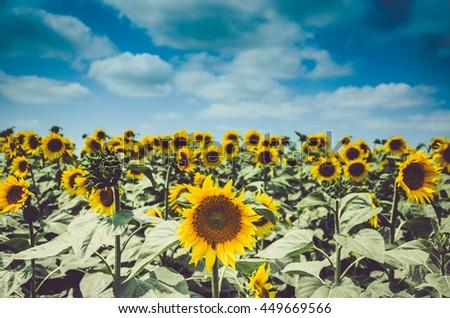 blur Sunflower - stock photo