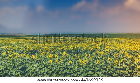 blur Sunflower background - stock photo